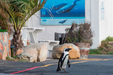 African penguins roaming the streets of Cape Town